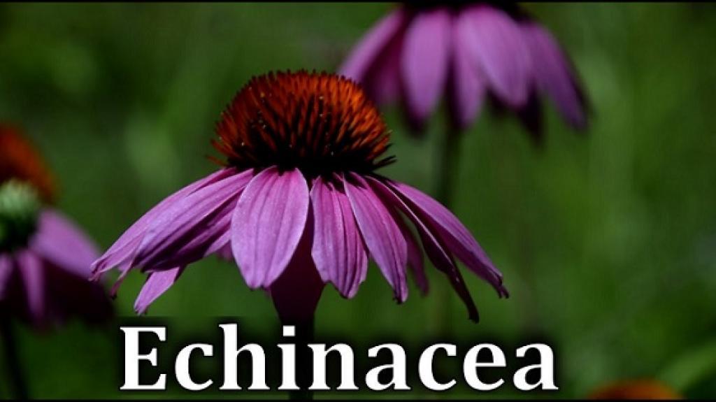 Blooming Echinacea  purple flower